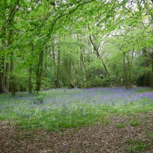 Vicarage Grove Bluebells
