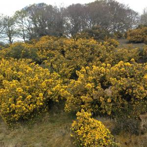 Gorse Blackheath